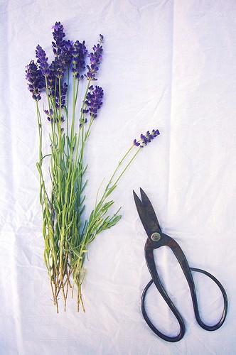 Lavenders3
