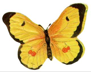 Butterflyyellow