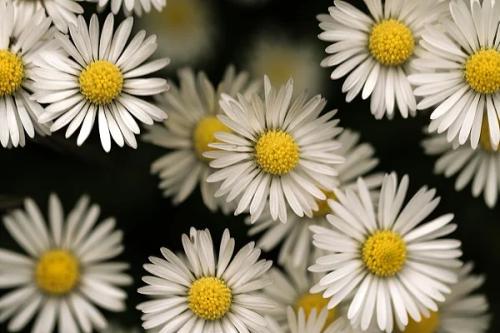 Daisy9